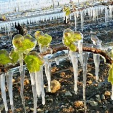 Protection of vineyards from spring frosts.