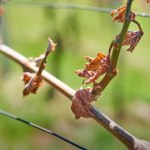 Protection of vineyards from spring frost.
